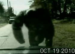 Schimpansin Sue greift Polizeifahrzeug an
