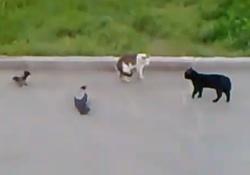 Katzenduell mit Krähen
